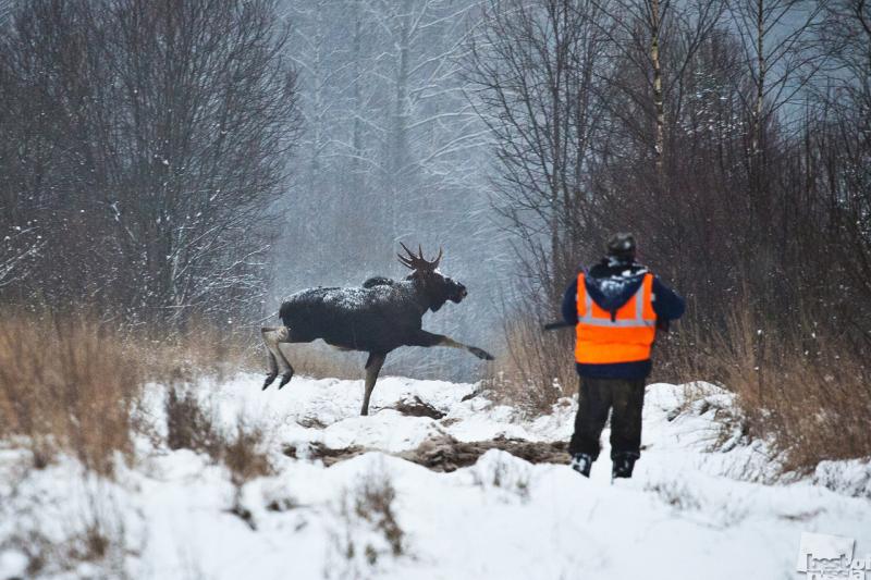 В Кировской области при охоте на лося ранен загонщик