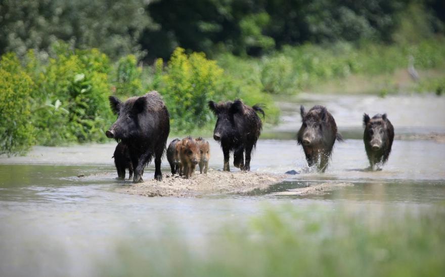 Подтвержден падеж кабанов от АЧС в Саратовской области