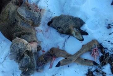 Косуля с детенышами убита браконьером в Ленинградской области