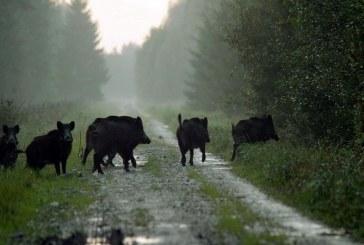 В Саратовской области продлено регулирование численности кабана