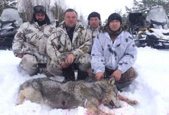С начала года в Кировской области добыт уже 81 волк