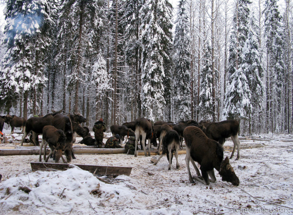 Шесть лишних кабанов будут отстреляны в заказнике Костромской области