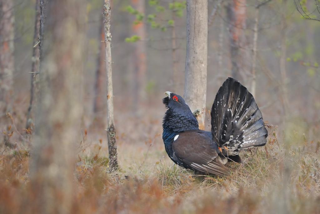 Псковская область установила единый срок весенней охоты