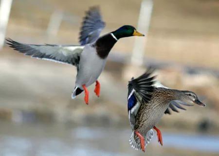Определены сроки весенней охоты 2017 в Смоленской области