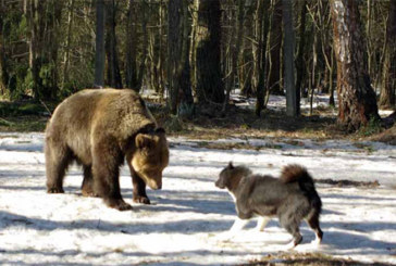 На Вологодчине приближается весенний сезон охоты на медведя