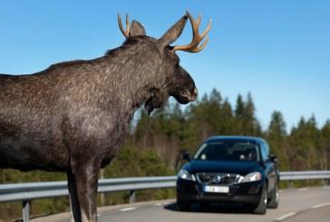 Внимание, водители! Началась сезонная миграция копытных!
