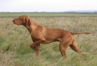 Собаководам Самарской области выдают разрешения на охоту