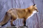 Cезон охоты на пушного зверя открывается в Волгоградском регионе