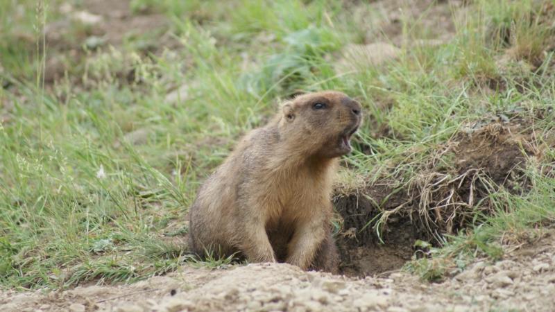В Татарстане запрещена охота на сурка