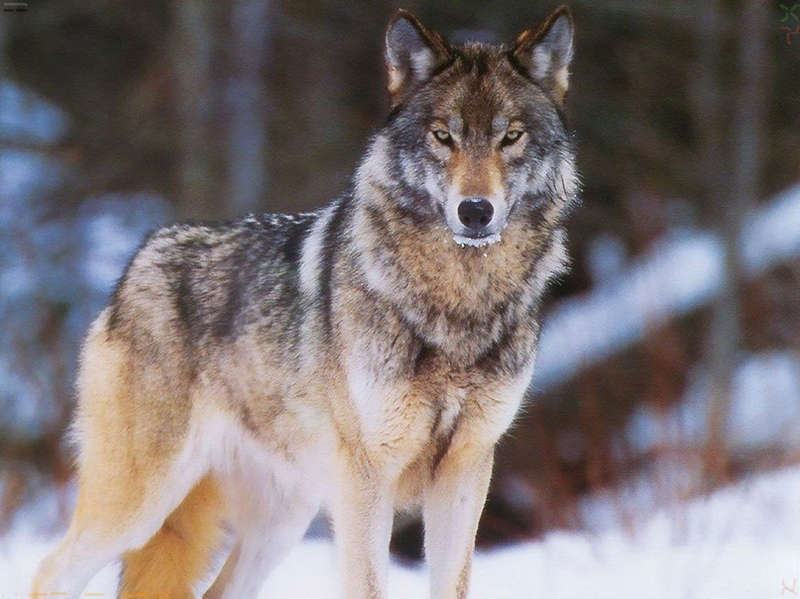 Поморские охотники добились увеличения выплат за добычу волков.